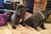 Blue french bulldog en Dallas