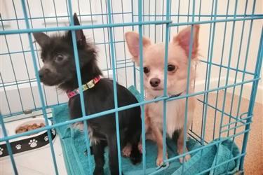 Amazing Chihuahua Puppies en Indianapolis