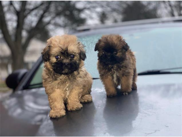 $350 : Cute Havanese Puppy Available image 1