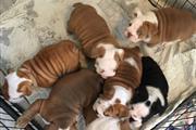 Amazing english bulldog puppie thumbnail