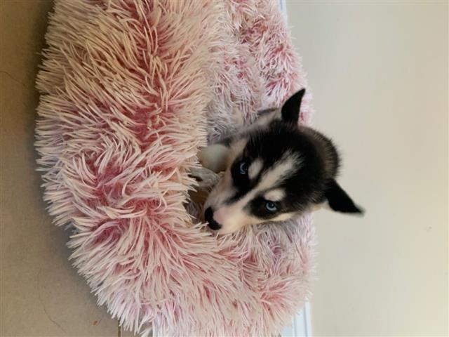 Siberian Husky for Sale image 2
