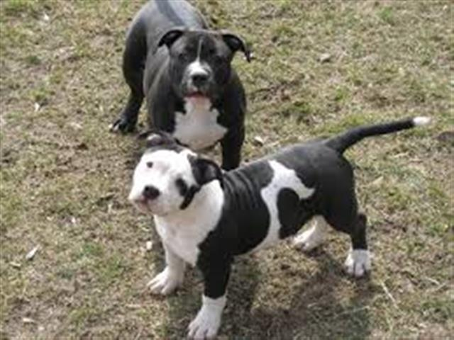 $600 : pitbull puppies for sale image 1
