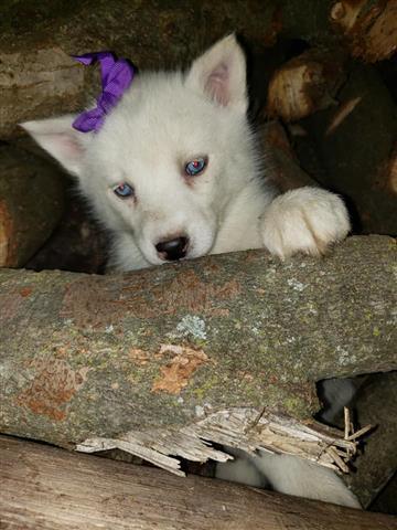 $600 : Siberian Husky. image 3