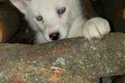 $600 : Siberian Husky. thumbnail