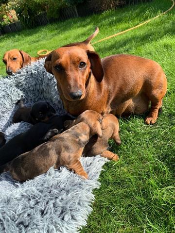 Dachshund Puppies. image 1