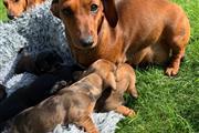 Dachshund Puppies. thumbnail