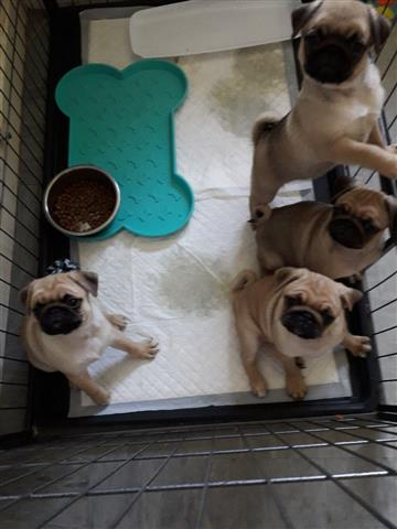 Male PUG Puppies for rehoming image 1