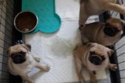 Male PUG Puppies for rehoming