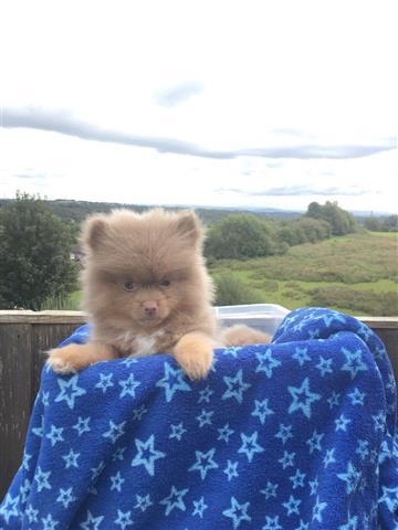 Lovely Pomeranian puppy image 1