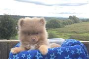 Lovely Pomeranian puppy en Washington DC