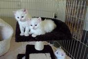 #Ragdoll Kitten For Sale en Los Angeles County