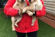 Cachorros labrador dulce en Canton