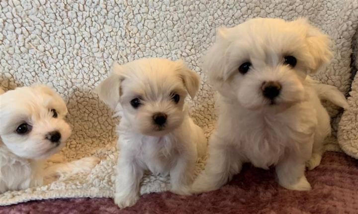 $350 : Maltese Puppies image 2