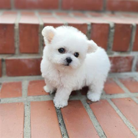 $500 : Tea cup puppy for adoption image 2