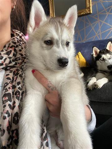 $650 : Husky puppies! image 1