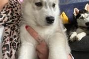 Husky puppies!