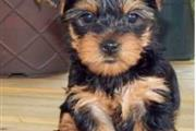 Teacup Male and Female Yorkie
