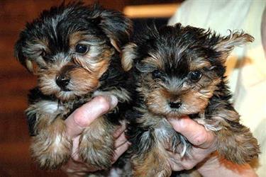 Cute Yorkie puppies 4u ready#$ en Los Angeles County
