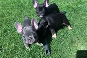Quality French Bulldog Puppies en Tempe