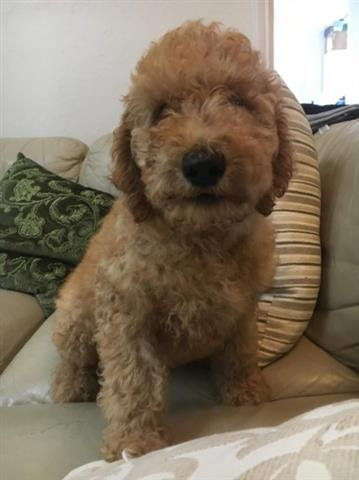 PHILA POODLE PUPPIES READY image 1