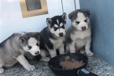 Huskys Siberianos Envio Gratis en Washington DC
