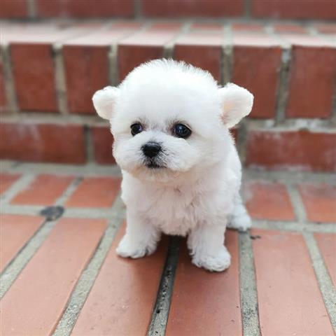 $500 : Tea cup puppy for sale image 1