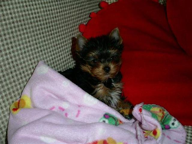 $200 : AKC registered yorkie t cup image 1