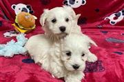 Excellent Teacup Maltese puppi