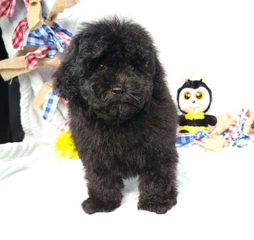 $635 : Black Toy Poodle Puppies for s image 2