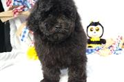 $635 : Black Toy Poodle Puppies for s thumbnail