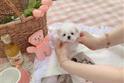 $500 : tea cup puppy for sale thumbnail