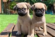 $500 : 12 WEEKS OLD PUPPIES READY thumbnail