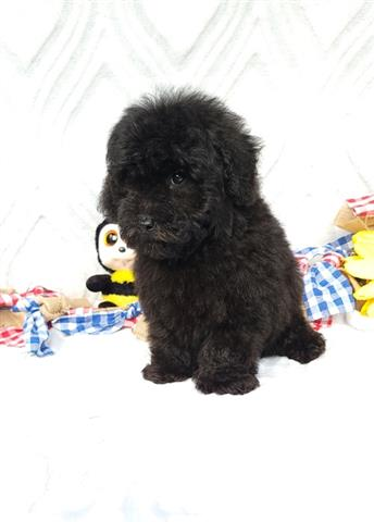 $635 : Black Toy Poodle Puppies for s image 3