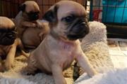 Cachorros Pug para Adoptioin