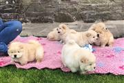 Beautiful Kc Registered Chow Chow Puppies Time fo