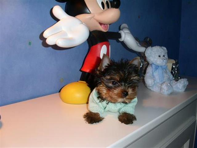 $150 : small size yorkies for sell image 1
