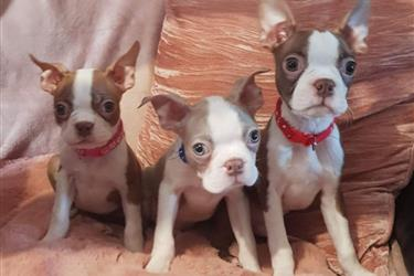 Puppies for rehoming en Indianapolis