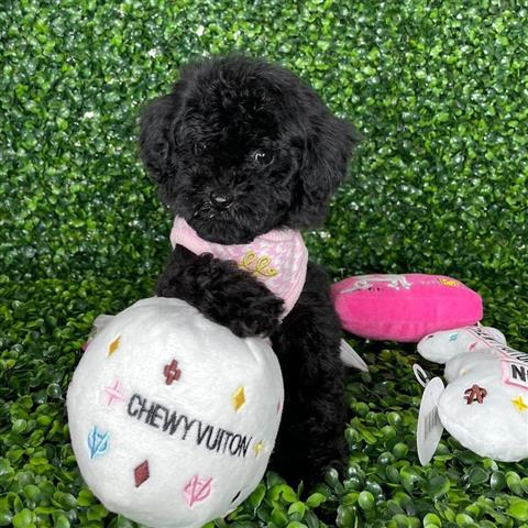 $500 : poodle puppies for sale image 4