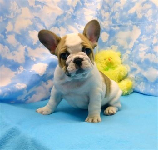 BLUE EYES FRENCH BULLDOGS PUPS image 1