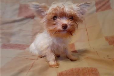 Yorkie Puppy en Virgin Islands