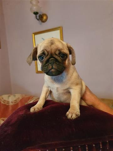 PUG PUPPIES FOR REHOMING image 1