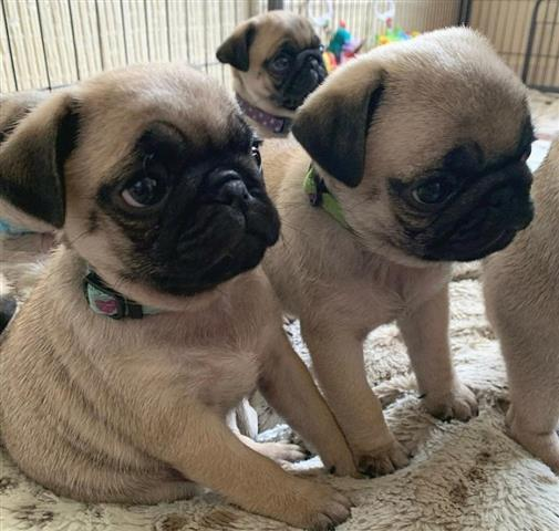 $500 : PUG PUPPIES FOR REHOMING image 1