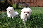 Dulces cachorros malteses en Los Angeles County