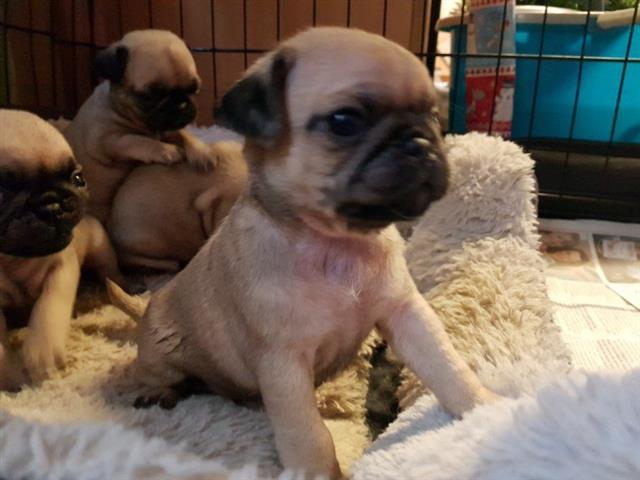 $350 : Cachorros de pug hermosos image 1