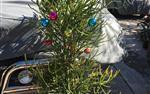 Arbol de Navidad Vivo en Los Angeles