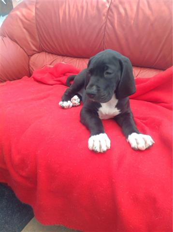 Lovely Great dane Puppy image 1