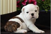 Cachorros Bulldog Inglés.
