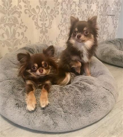 Stunning Chihuahua Pups image 1