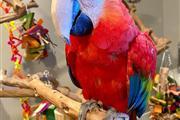 Scarlet Macaw Babies for sale en Virgin Islands