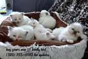 Hermosos gatitos Ragdoll puros
